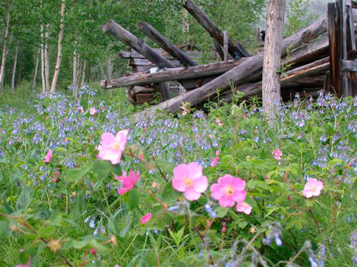 Wild roses and bluebells decorate the remains of an old cabin.