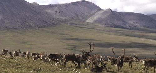Migrating caribou.