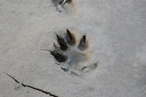 Wolf track.