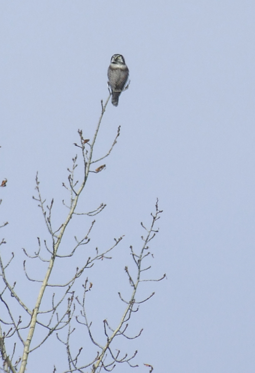 Hawk Owl, one of the few year round residents in this area.
