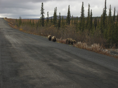 Not all highway traffic is human. Three brown bears stroll along the Dempster Highway.