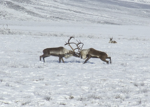 http://trondekheritage.com/images/photo-galleries/Porcupine_Caribou_2008_012.jpg