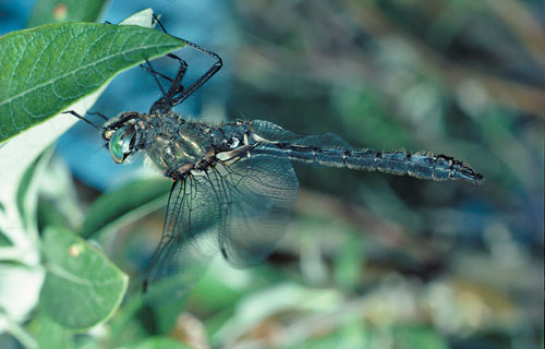 The Treeline Emerald dragonfly (<em>Somatachlora sahlbergi</em>), named for its bright blue-green eyes, only exists in Beringia.