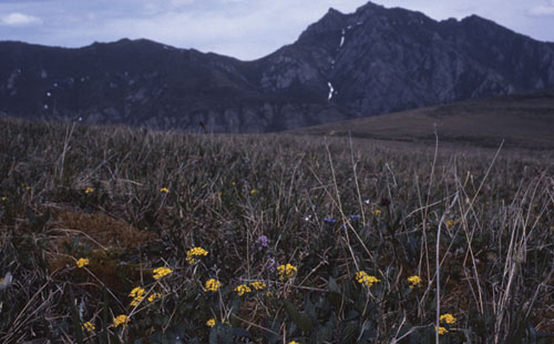 One of the plant species endemic to, or only found in Beringia is the Ogilvie Draba (<em>Draba ogilviensis</em>).