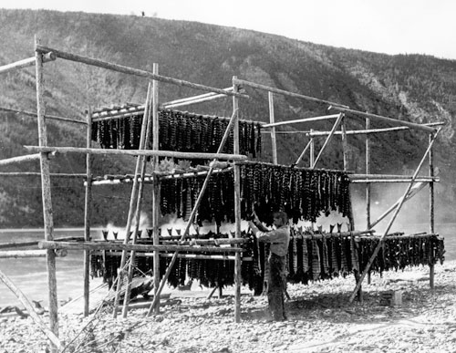 Arthur Anderson placing salmon on the family fish rack at Forty Mile, ca. 1930s.