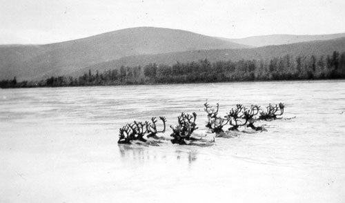 Part of the Fortymile Caribou Herd crossing the Yukon River near Dawson.