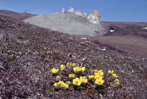 A tor with glacier avens in the foreground.