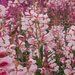 A stand of pale pink fireweed (<em>Epilobium augustifolium</em>).