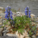 Lupines on the banks of the Blackstone River.