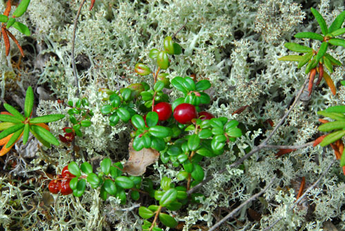 Lowbush cranberries and Reindeer Moss which is really a type of lichen and a favourite food of caribou.